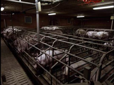 élevage porcs herta